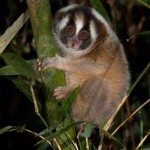 Slow Loris ,Michael Williams Photography.