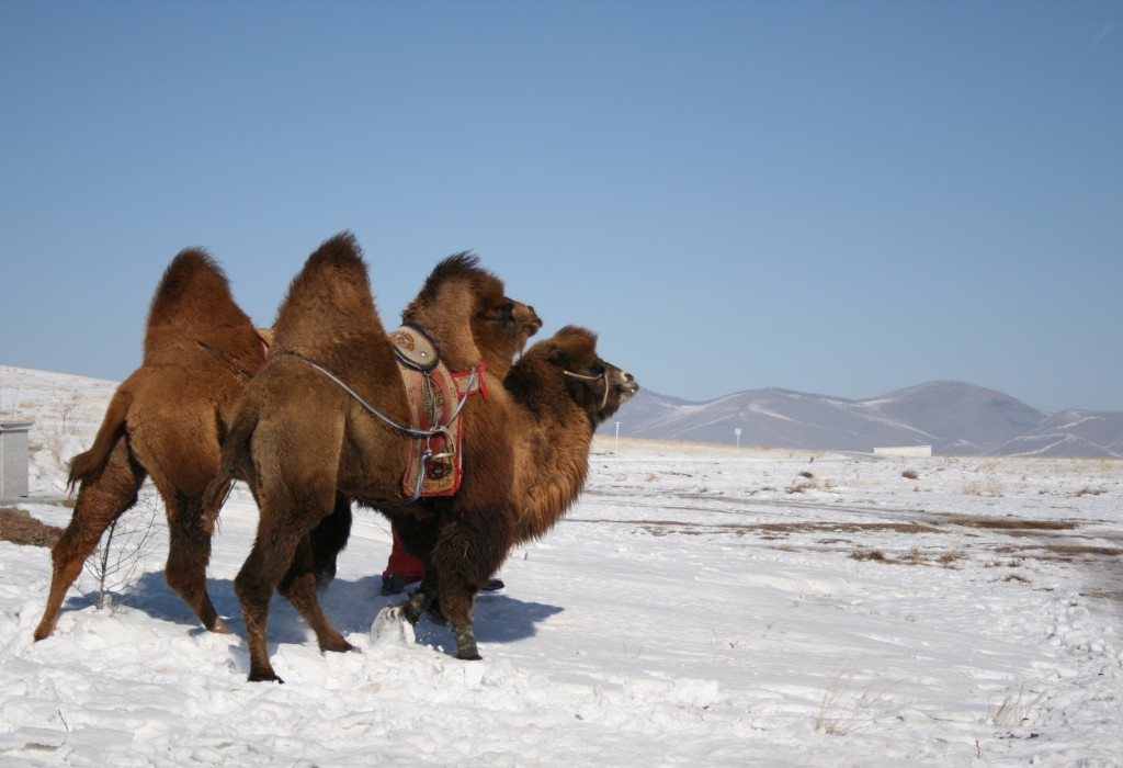Mongolian Camels on the Steppe