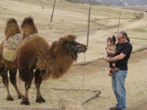 Been dan DJ face off a Bactrian Camel